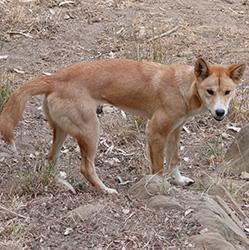 Wild dog action plan