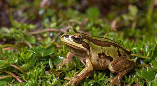 Helping hand for Alpine frog