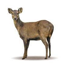 Hog deer ballot opened