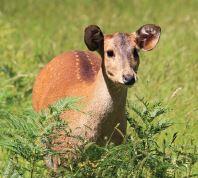 2019 junior Hog Deer hunter ballot open