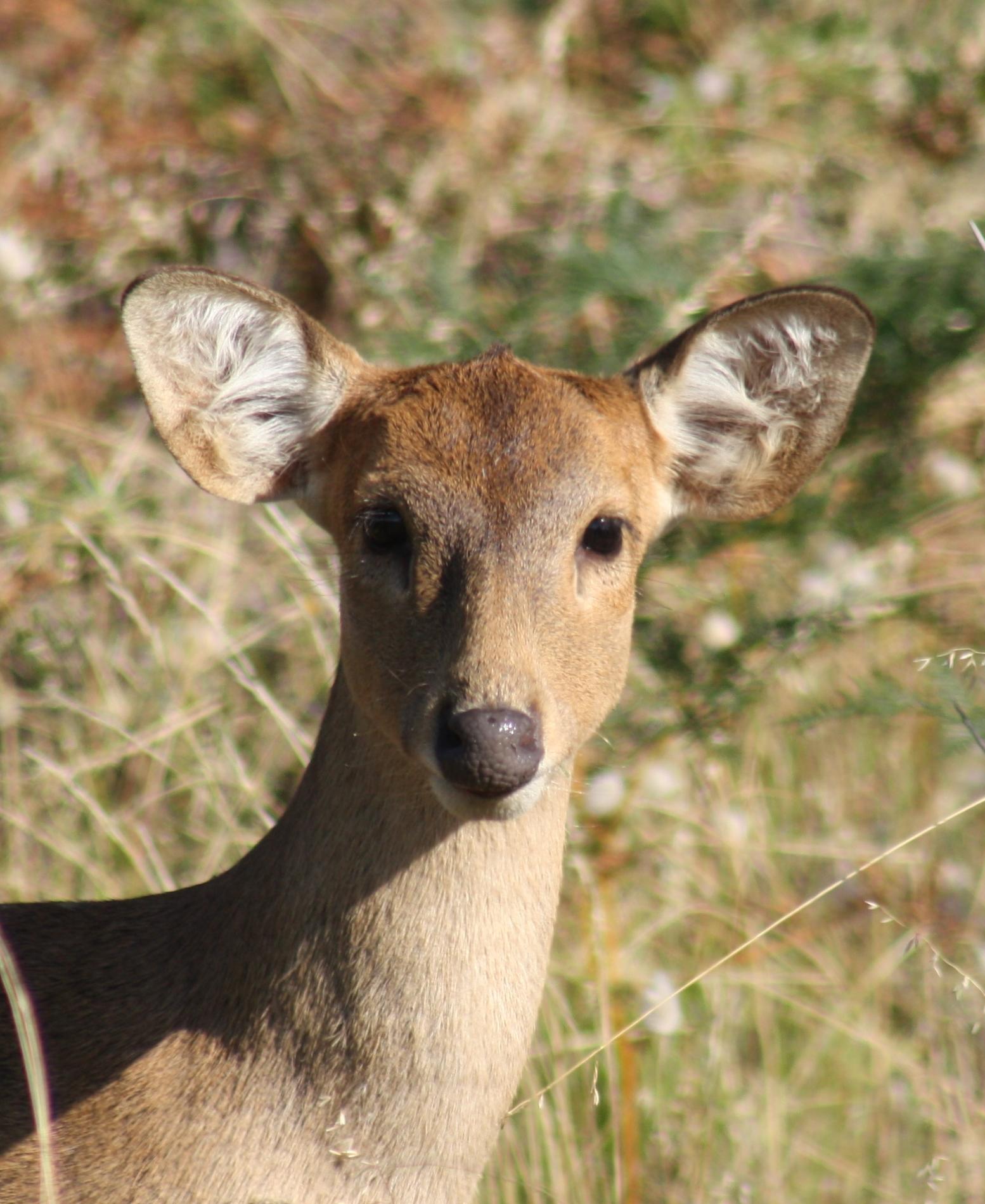 Last chance to apply for 2018 Hog deer ballot