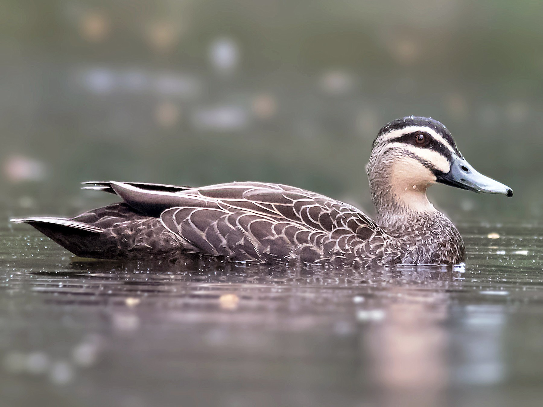 A Positive Step For Duck Hunters – Waterfowl Monitoring Boost